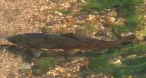 Brown Trout #2, R. Wye 01-05-07 AB