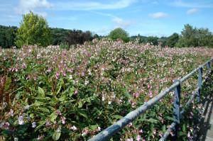 Rye-balsam-before-clearing-started-2.jpg